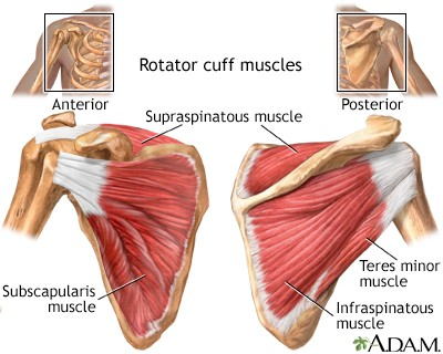 A medical drawing of the shoulders and rotator cuff area.